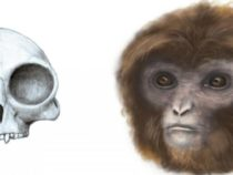 In India New fossil ape is founded